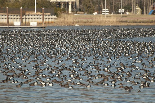 11-Ducks-0554