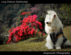 Long Distance Relationship /  (AmpamukA) Tags: travel mars dog pet white animal fur long alone natural time pass domestic lone brandy distance bruno lonesome pui doi ldr       relationsip   ampamuka