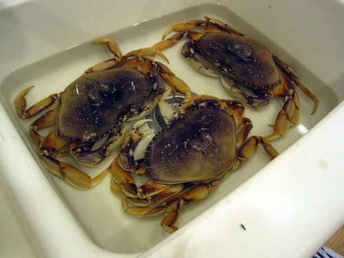 Live Crabs in the Kitchen Sink!
