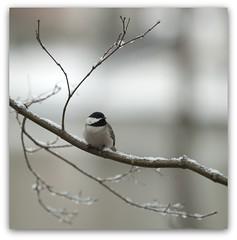 Chickadee on Snow Covered Branch (Judy Rushing) Tags: bird chickadee herowinner pregamewinner pregamesweepwinner pregamebirthdayawardedstdpurpleorspecial