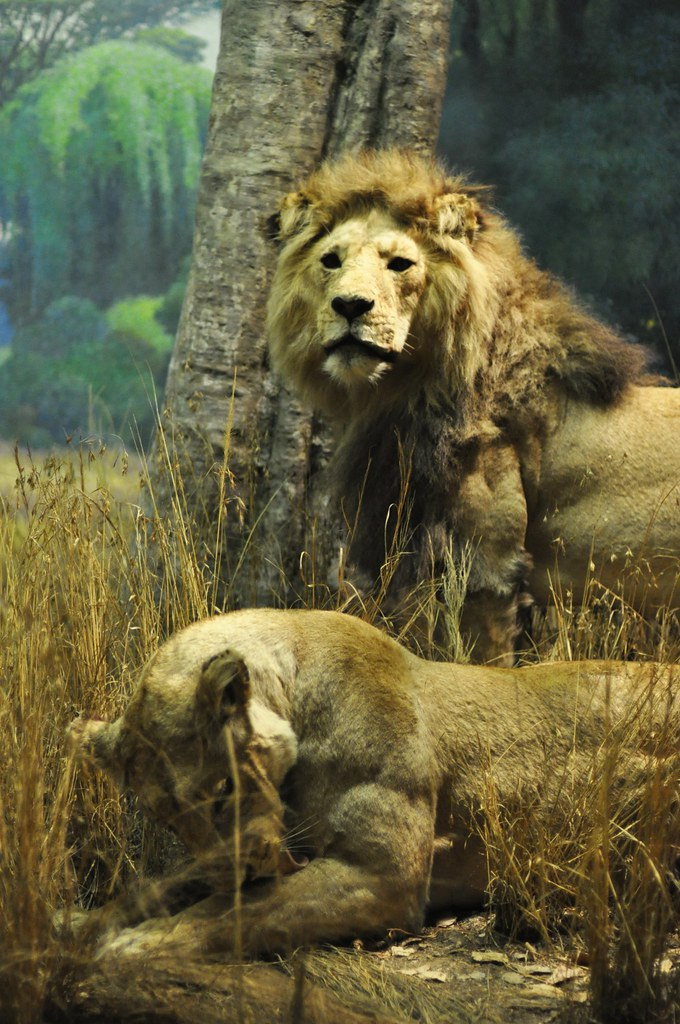 Lions at the American Museum of Natural Historym