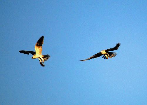 kite vole brian murphy wc