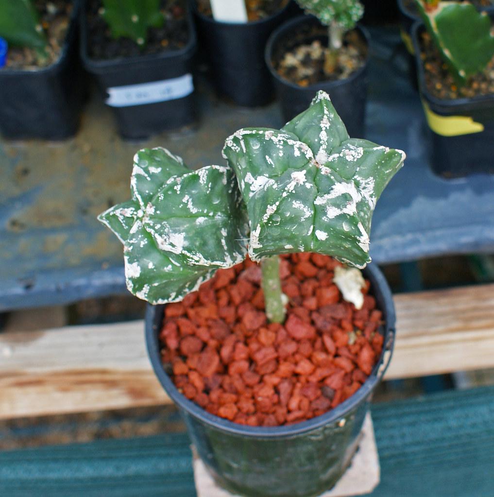 Astrophytum Cultivars  5490003965_3ae81985be_b