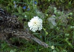 desert flower 4