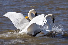 Do That To Me One More Time (flipkeat) Tags: nature port foot big swan action wildlife swans credit mating mississauga cygne cisne trumpeter cygnus trompette a68 buccinator ontopofeachother straddled e78 dslra500