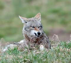 A Waking Coyote (series) (Garebear400) Tags: coyote wild animal nikon waking snarl nwr naturescenes ridgefield nbw fantasticnature naturesgreenpeace mothernaturesgreenearth amazingwildlifephotography