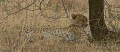 Cheetah in Serengeti NP Tanzania (1982Chris911 (Thank you 5.500.000 Times)) Tags: africa park canon tanzania safari national cheetah serengeti bigfive canoneos5d canoneos5dmarkii canon5dmkii 5dmarkii canon5dmark2 5dmark2 canon5dmarkii eos5dmarkii krieglsteiner 1982chris911 christiankrieglsteiner 192chris911 christiankrieglsteinerphotography