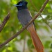 Paradise Flycatcher (David Mercer)