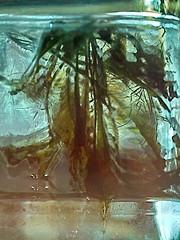 Abraham Sutzkever: Griner Akwarium ~ Grnes Aquarium --- Water Mirror - Wasser Spiegel --- Aktion: Glas Wrfel Wasser ~ Glas Cube Water (hedbavny) Tags: vienna wien autumn winter summer plant reflection green art water glass studio aquarium austria mirror sketch sterreich spring wasser underwater sommer spiegel kunst diary herbst jahreszeit pflanze sketchbook september note cube mementomori grn rotten transition root decomposition spiegelung tagebuch glas wrfel glaswrfel aktion frhling wurzel atelier vanitas unterwasser werkstatt undine verfall verwelkt skizze notiz arbeitsraum melancholie radix wasserpflanze wasserspiegel skizzenbuch bergang wienvienna maigrn sterreichaustria scheintod transitio abrahamsutzkever avromsutzkever hedbavny ingridhedbavny aktionisums