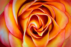 Rose Closeup Photo Painting (Linda Cochran) Tags: flower rose closeup digitalpainting mixerbrush
