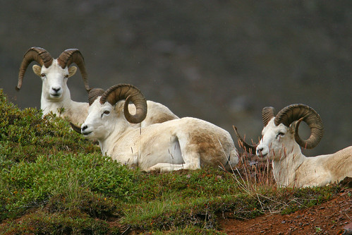 Dall sheep-11.jpg