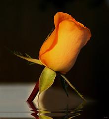 :))) (Zéza Lemos) Tags: portugal water rose água canon amor natureza natur flor rosa gotas jardim amizade rosas reflexos amistad vilamoura pétalas mygearandme mygearandmepremium mygearandmebronze mygearandmesilver exquisiteflowersflowersarrebaeutifulmacroselsalvadormixedflowersfaunaandfloraoftheworld