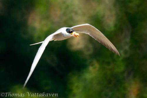 River Tern