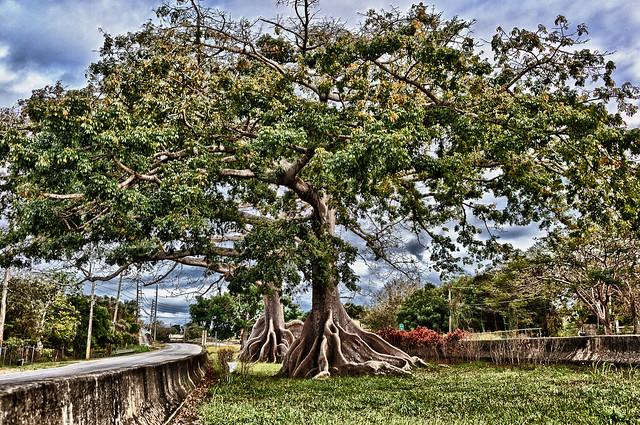 072/365 - March 13, 2011 - Ceiba Tree