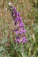 Lupine 02 (Tom Hilton) Tags: color wildflowers windwolvespreserve