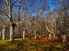 Hayas (andresbasurto) Tags: naturaleza color verde azul cielo árbol invierno naranja bizkaia febrero hayas urkiola 2011 parquenatural hayedo parquenaturaldeurkiola andresbasurto