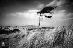 Lone Tree Formby Point (steve.ashton7) Tags: longexposure pinetree formbypoint lee10stopnd