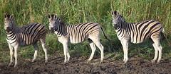 Ok he's seen us, Strike a pose (EI-AMD Photos) Tags: africa game photos wildlife south reserve lodge safari zebra anthony equus lawerence zululand burchells thula burchelli eiamd