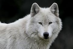 Gray Wolf (Canis lupus) Male (Explored) (Tom in Tacoma) Tags: canon wolf ngc sensational wolves coth supershot bej specanimal abigfave supershots wolfhaveninternational citrit 100400mmf4556lis canon7d dragondaggerphoto dragondaggeraward specialshotswelltaken