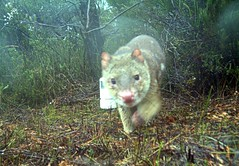 Spotted-tailed Quoll (Environment + Heritage NSW) Tags: wilderness marsupial carnivore quoll spottedtailedquoll npws dasyurid farsouthcoast nadgeenaturereserve deccw