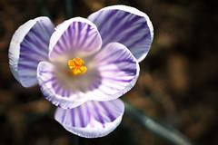 Genuch jetz! (Herr Olsen) Tags: flower bokeh top down crocus blume krokus