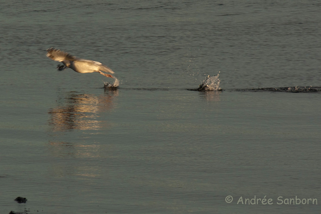 Ring-billed Gull Take-off-3.jpg