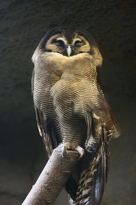 木柵動物園台灣鄉土動物區(褐林鴞)045