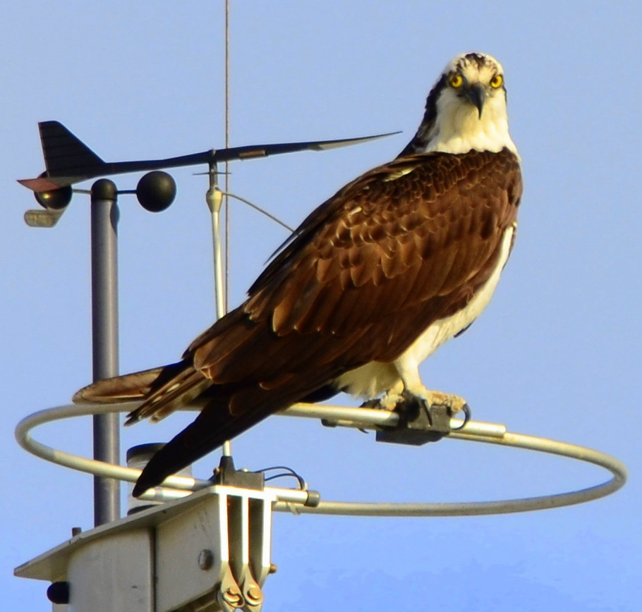 THE  ULTIMATE  FISHERMAN!........... One osprey was timed in flight going between 20 and 80 miles per hour!