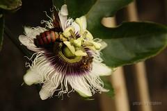 Flor de maracuj (Dircinha -) Tags: de flor bee bumblebee abelha maracuj mamangava