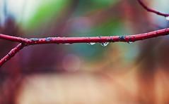 Spring Rain (jaxxon) Tags: blur color wet water rain weather shower drops spring blurry nikon focus colorful branch dof bokeh background ss pad drop depthoffield drip twig stick 365 nikkor moisture damp drizzle moist hss 2011 d90 wetness dampness nikor project365 f28g jaxxon jackcarson multifarious apicaday waterdropsmacro ayearinpictures nikond90 hpad nikkor105mmf28gvrmicro 365093 project365093 093365 desklickr jacksoncarson jacksondcarson ayearinphotographs hpadw project3652011 2011yip slidersunday sliderssunday 3652011 slidersundays sliderssundays yip2011 2011ayearinpictures project365932011 2011365093