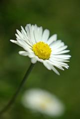 Daisy (Mery tena un corderito) Tags: flower macro primavera up closeup spring close flor daisy margarita pentaxk10d