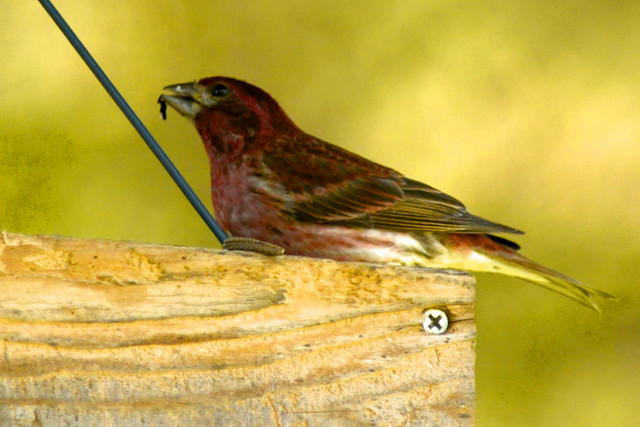 springtimehousefinch