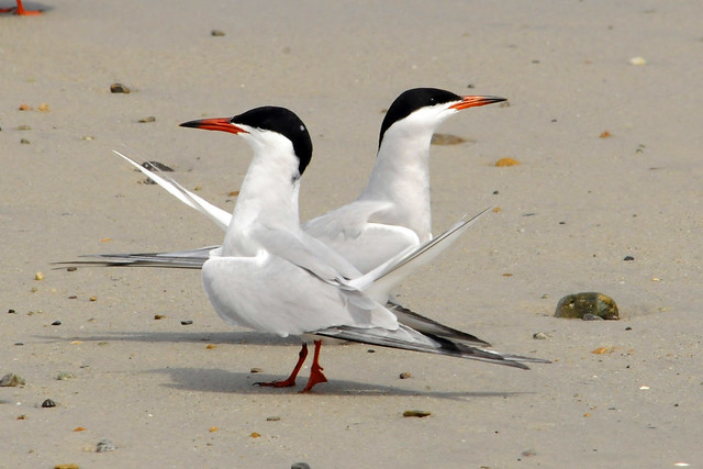 cross terns