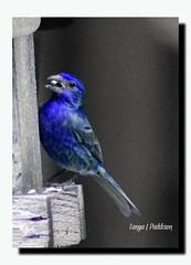 2016-09-23_09-09-19 (tpaddison1) Tags: bird blackandwhite finch