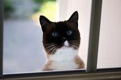 Eliot (Mariie76) Tags: animaux chats félin snowshoe sacré de birmanie birman siamois marron blanc yeux bleus tâche museau seal point mignon drôle attendrissant demande porte