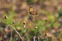 papillon butinant (rondoudou87) Tags: butterflly papillon bokeh profondeurdechamp dof pentax k1 colors couleurs jardin garden nature