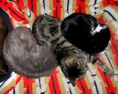 Blueboy, Paul and Lovie; a rare combination (Hairlover) Tags: pet cats pets public cat kitten kitty kittens kitties threeleggedcat allcatsnopeople 27yearoldcat