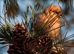 Color Me Shy (martytdx) Tags: male birds birding january nj immature longbranch sevenpresidentspark coldashell whitewingedcrossbill loxialeucoptera loxia crossbills fingillidae