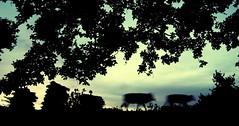 / Godhuli Bela (pallab seth) Tags: light sunset sky india motion nature silhouette landscape photo movement twilight nikon asia image action candid joy dream culture coolpix kolkata bengal southasia westbengal subdued villagelife manandnature godhuli incredibleindia saarc nikoncoolpixp3 indiannaturephotographer ruralbengal naturessilhouette ruralwestbengal silhouettephotography thebestsilhouettes godhulibela incrediblebengal unseenindia  unseenbengal sabarbangla  grambanglarchobi