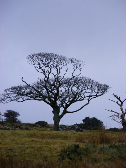 Tree above the Goseneck.