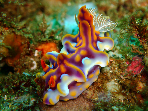 MAGNIFICENT CERATOSOMA