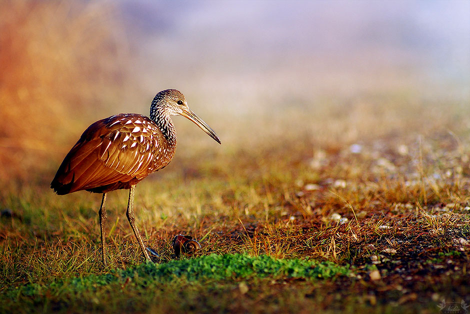 Limpkin with Snail