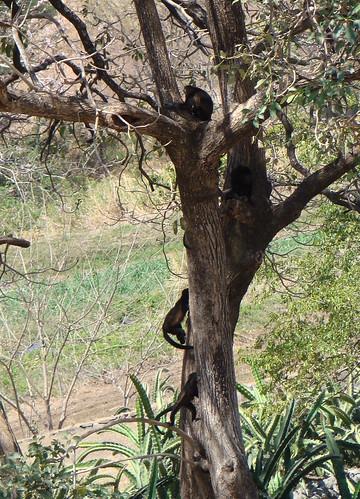 El Viejo Wetlands-Monos aulladores (Alowatta palliata)