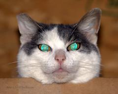 Puff (romamar76) Tags: white cat grey eyes head shorthair glowing adoptable