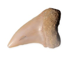 Shark - Hook Tooth Mako   Bakersfield   California   USA   15-16 million years   7203.JPG (ShutterStone.com) Tags: california usa canada bakersfield 7203jpg sharkhooktoothmako 1516millionyears