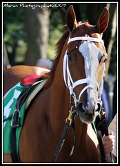 Rags to Riches (EASY GOER) Tags: horses belmont champion winner gazelle stakes equine 2007 ragstoriches