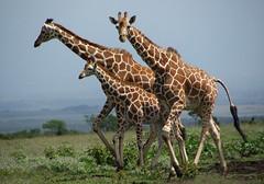 Giraffe family walking (Sallyrango) Tags: africa game drive kenya walk safari giraffes getty zebras specanimal