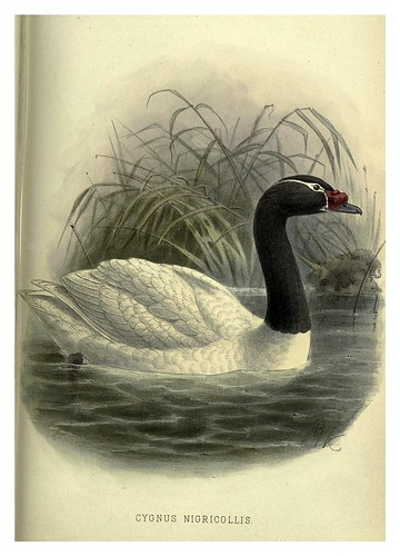 028-cisne de cuello negro-Argentine ornithology…1888- William Henry Hudson y Philip Lutley Sclater