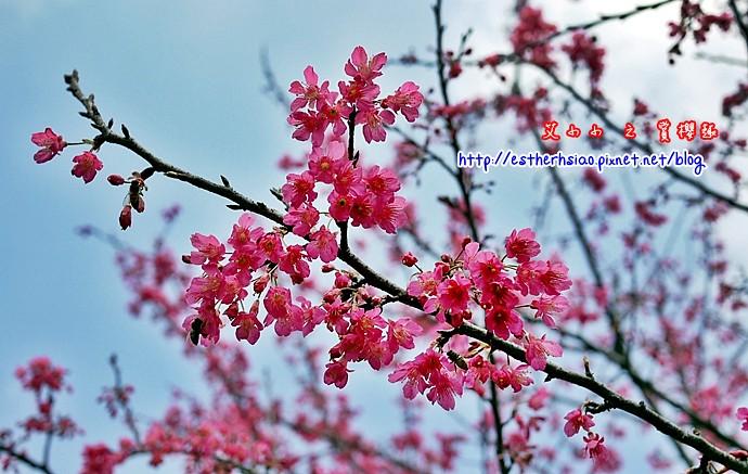 3 ㄤ咕麵第一公園櫻花