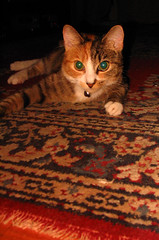 MissPaws Rug Pose (Bladensburg-BurgerChefGuy) Tags: cats cat kitten feline kitty kitties